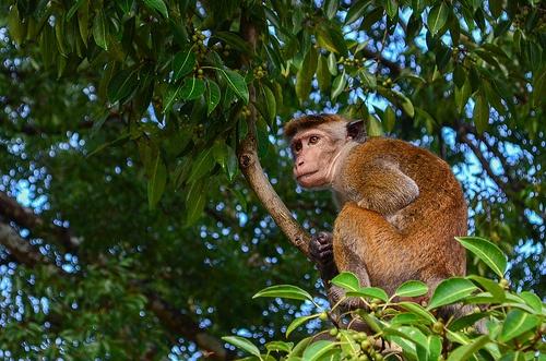 Monkey - Polonnaruwa, Sri Lanka