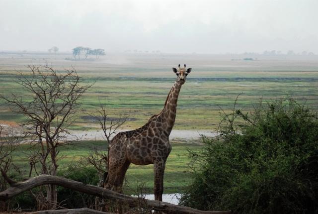 Giraffe at Chobe River