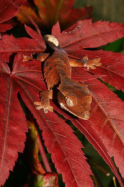 Autumn crested geckobyAngiWallace.