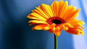 my fave flower & colour