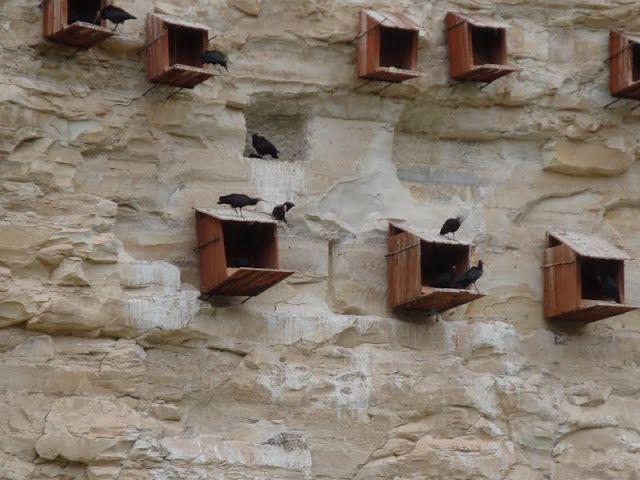 Günümüzde, kelaynaklar, nesli tükenmekle karşı karşıya olan kuş türlerinden biridir. Dünyada yalnızca Nil Vadisinde ve Birecik'te bulunmaktadırlar. Şubat ayı ortalarında, Birecik'e gelen kelaynak kuşlarının kayalıklara yerleşmeleri Mart ayı ortalarını bulmaktadır. Üremelerinin ardından yavrularını burada büyüttükten sonra Temmuz ayı ortalarında Birecik'ten tekrar yavruları ile birlikte ayrılmaktadırlar. Tek eşli olan kelaynak kuşları, her sene aynı eşle yuva yapar ve çiftleşirler.