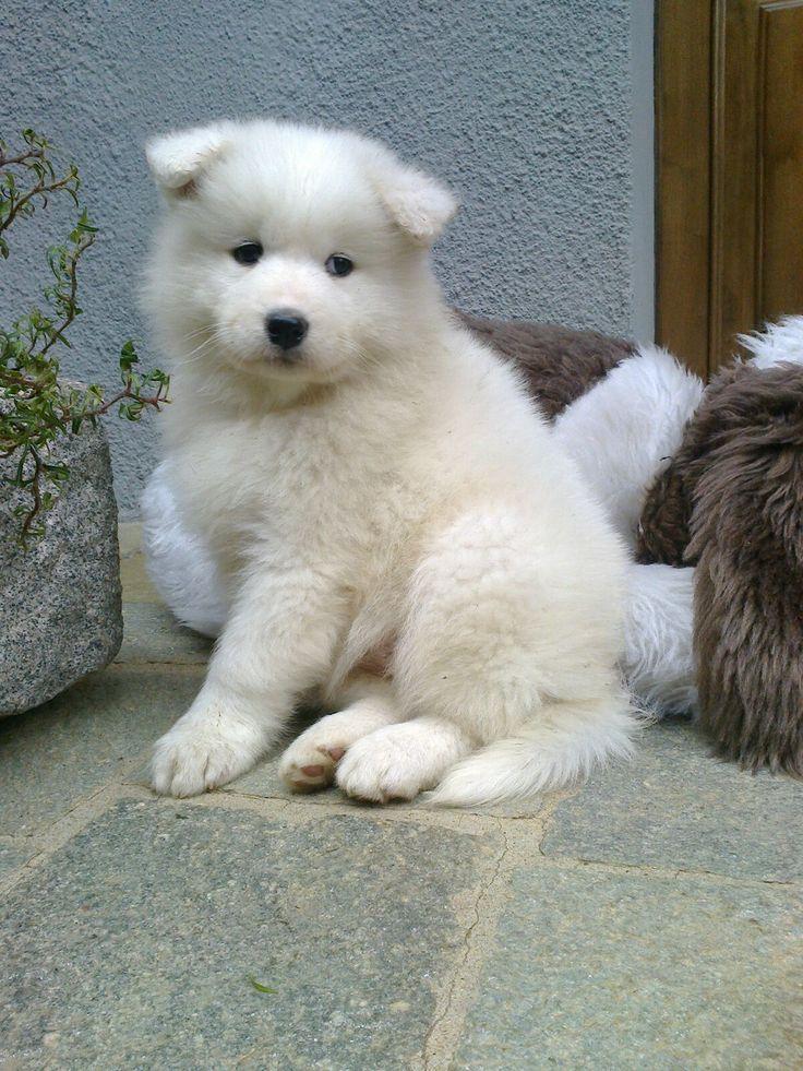 #cuccioli #samoiedo #virgola