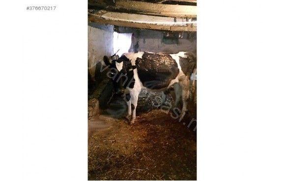 Duvelerin biri 7 aylık gebe, diğeri 3 aylık gebe. inek yeni doğum yaptı buzagis 1 aylık. günlük 20 kilo süt veriyor. diğer inek kasaplık. ahiri komple kapatıyorum o yüzden satiliktir