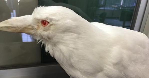 アルビノで生まれた白いカラスがあまりにも美しい! | netgeek                                                                                                                                                     もっと見る