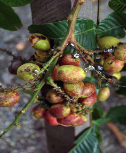 Buah Matoa kaya akan manfaat, kandungan vitamin C dalam buah mampu meningkatkan daya tahan tubuh yang lemah dan berfungsi meningkatkan antioksidan pencegah kanker.
