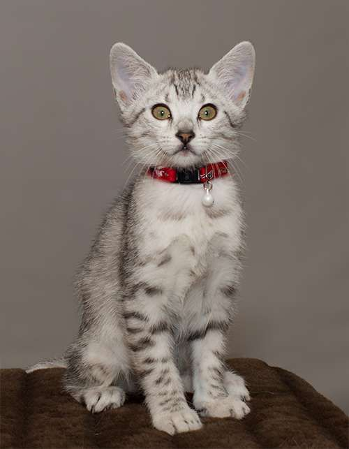 Cute Little Egyptian Mau Kitten