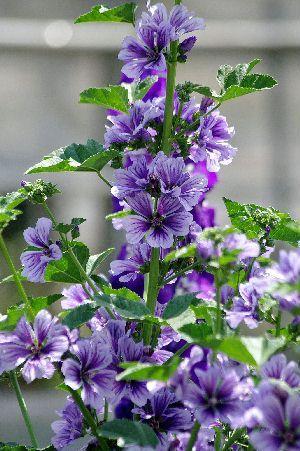 【楽天市場】マルバ 'ブルーファウンテン':おぎはら植物園