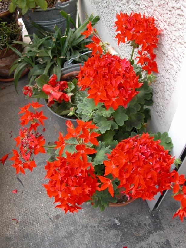 Pelargonium Fireworks Scarlet, tout feu, tout flamme  http://www.pariscotejardin.fr/2012/07/pelargonium-fireworks-scarlet-tout-feu-tout-flamme/
