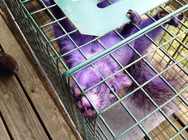 Purple Squirrel Found In Pennsylvania    A couple in Pennsylvania has found a purple squirrel in their backyard. The last time the world saw a purple squirrel was in the UK in 2008. No one knows why the squirrels are this way.