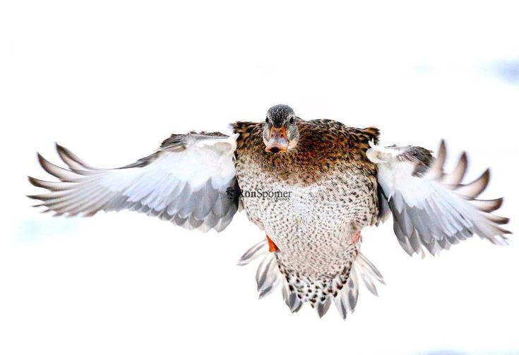 Mallard approach. #duckhunting #duck #mallard #du  #ducksunlimited #ronspomeroutdoors #hen #flight #feathers #whywehunt #primaries #braking