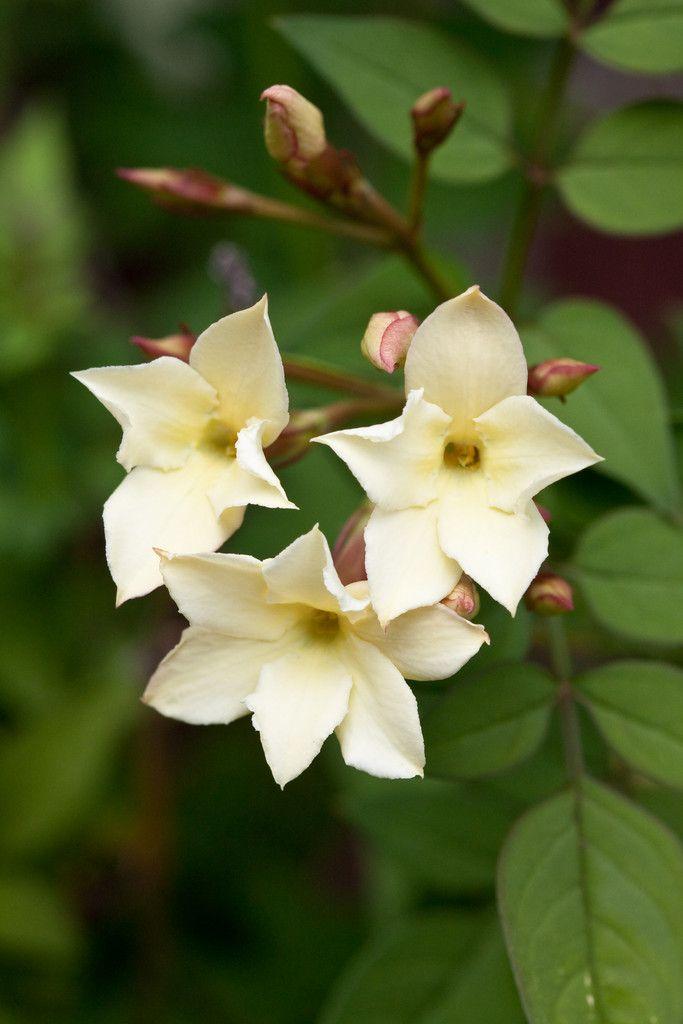 Die 25+ Besten Ideen Zu Jasmin Pflanze Auf Pinterest   Blumen ... Jasmin In Blumentopf Zuchten Wichtige Tipps