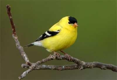 Bird Sounds: American Goldfinch