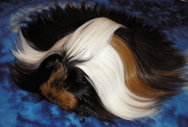 long-haired guinea pigs