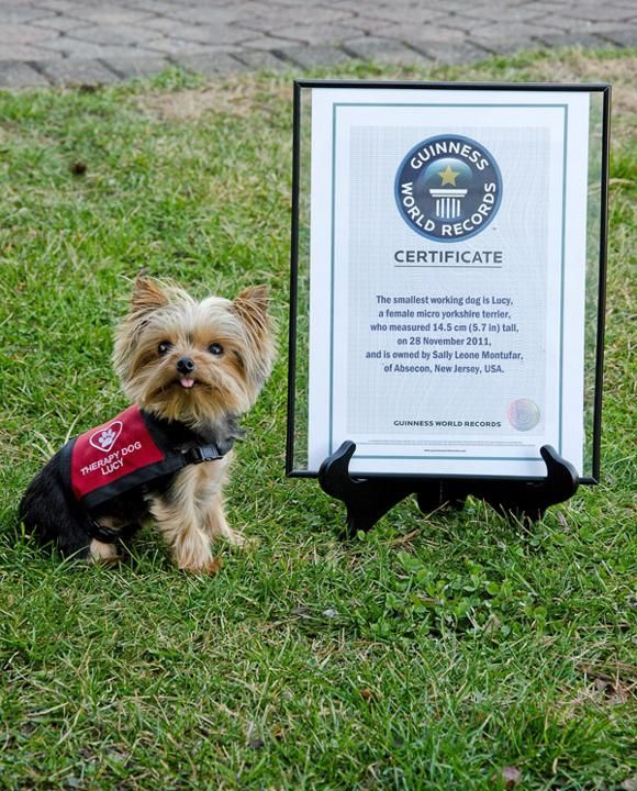 lucy is the worlds smallest working dog and shes got the guinness world record to