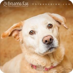 Peanut - Labrador Retriever/Akita mix - 8 yrs old -  Sheboygan, WI - Sheboygan County Humane Society  http://www.myschs.com  http://www.adoptapet.com/pet/10162234-sheboygan-wisconsin-labrador-retriever-mix