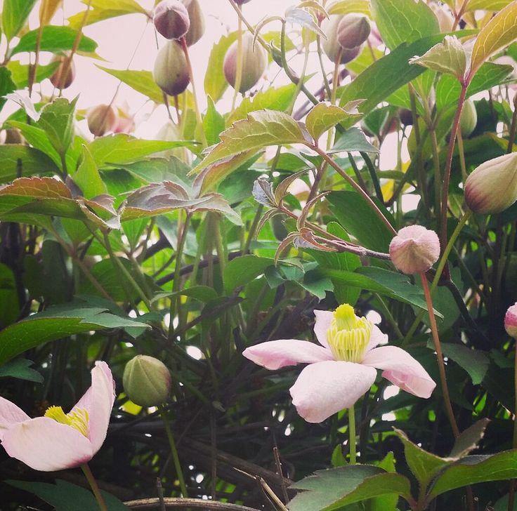 Clematis montana. Il risveglio della primavera.