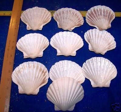 large seashells for sale - Google Search