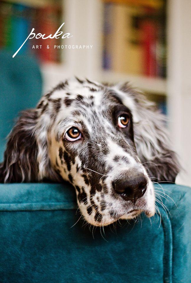 An English Setter puppy photographed by Pouka Fine Art Pet Portraits.
