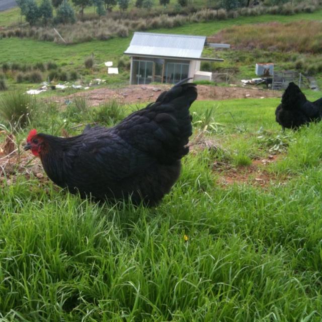 Farm fresh eggs, free range