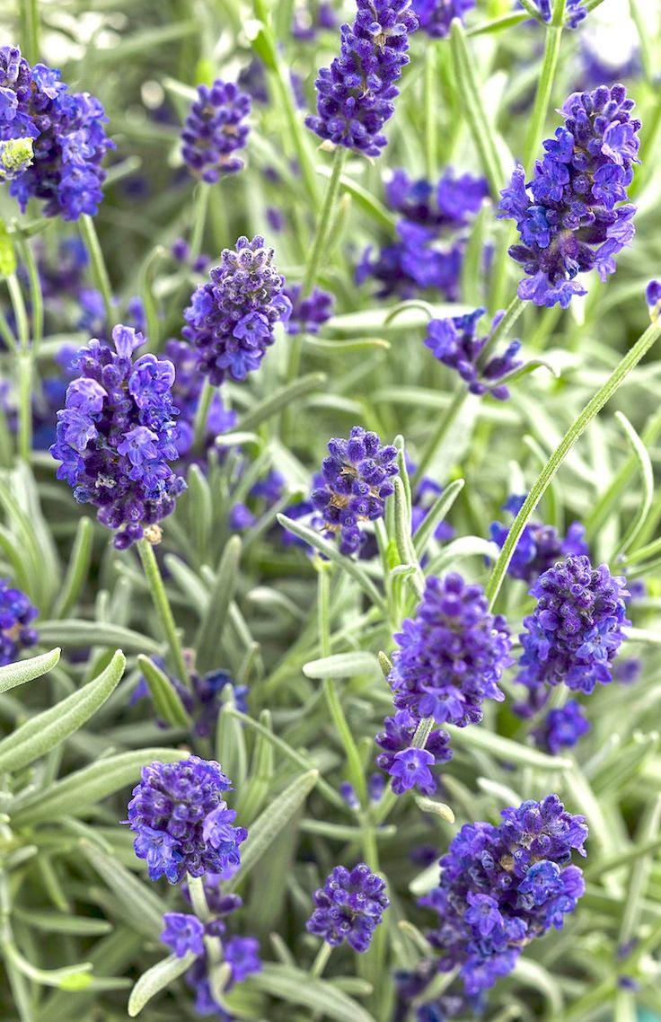 English Lavender 'Sweet Romance' (Lavandula angustifolia)
