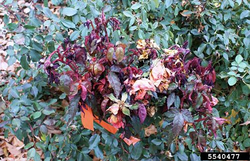 What is rose rosette disease? | Proven Winners
