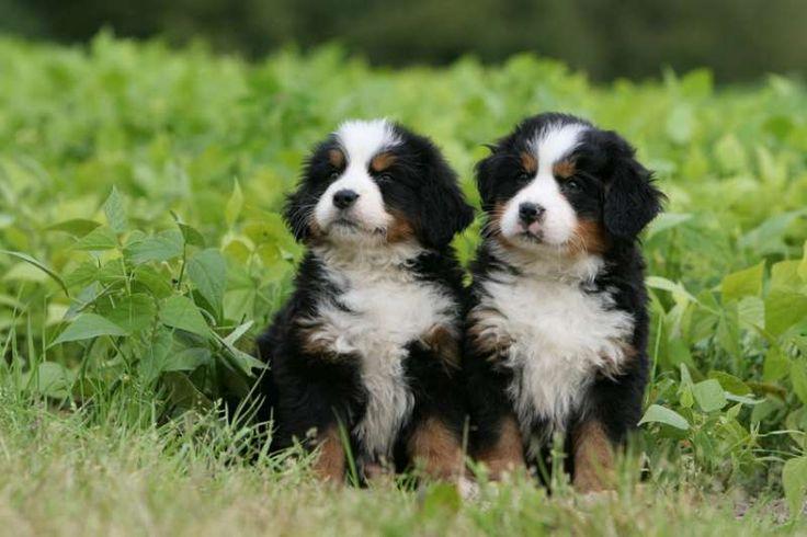 Berner Sennen Puppies | PETS - Huisdieren | Pinterest | Puppys Berner Sennen Pups