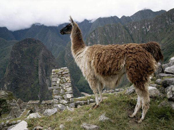 The llama is a South American relative of the camel, though the llama does not have a hump.