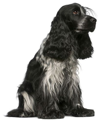 English Cocker Spaniel. We had a black and white when I was growing up. She was the sweetest dog!
