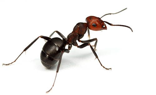 how to get rid of formica ants