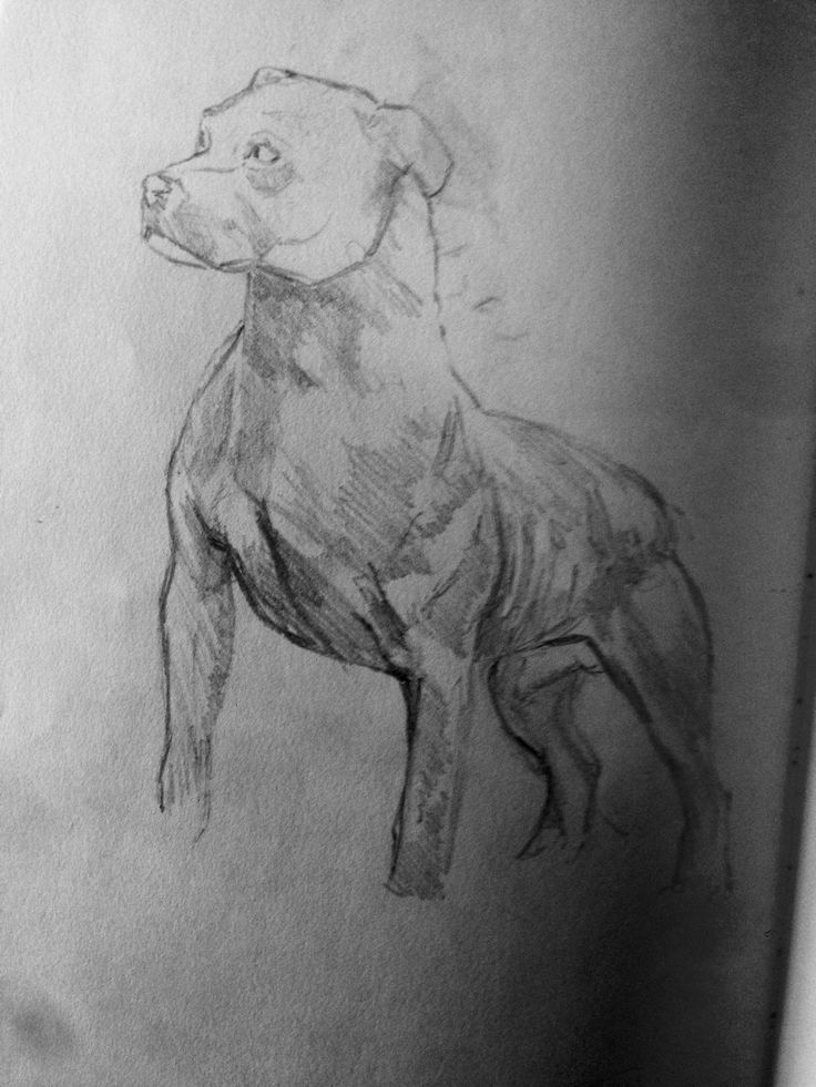 Quick 5 min sketch on train of a muscular pit bull pooch.