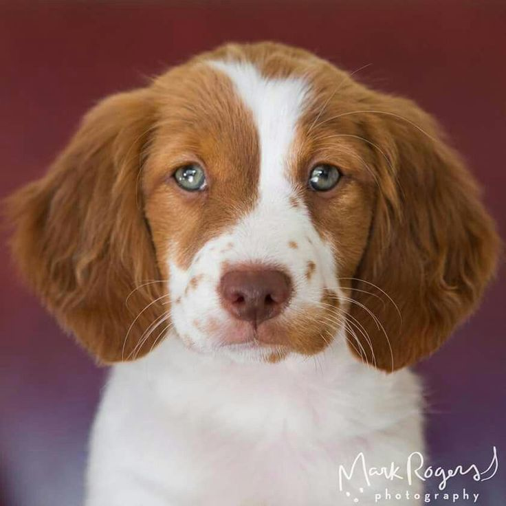 Cali the beautiful Brittany Spaniel (by Mark Rogers
