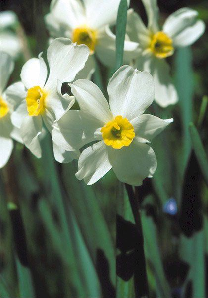 Twin Sisters daffodil, 1597 oldhousegardens.com