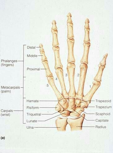 16 Best Anatomy Images On Pinterest Human Body Anatomy Anatomy