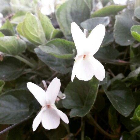 White Sweet Violet (Viola odorata var alba)