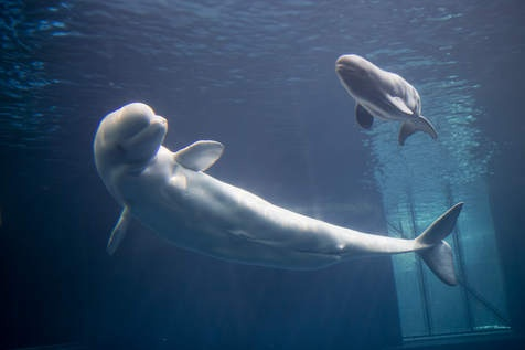 Beluga whale is sixth to be born at Shedd Aquarium - PhotoGallery - Chicago Sun-Times