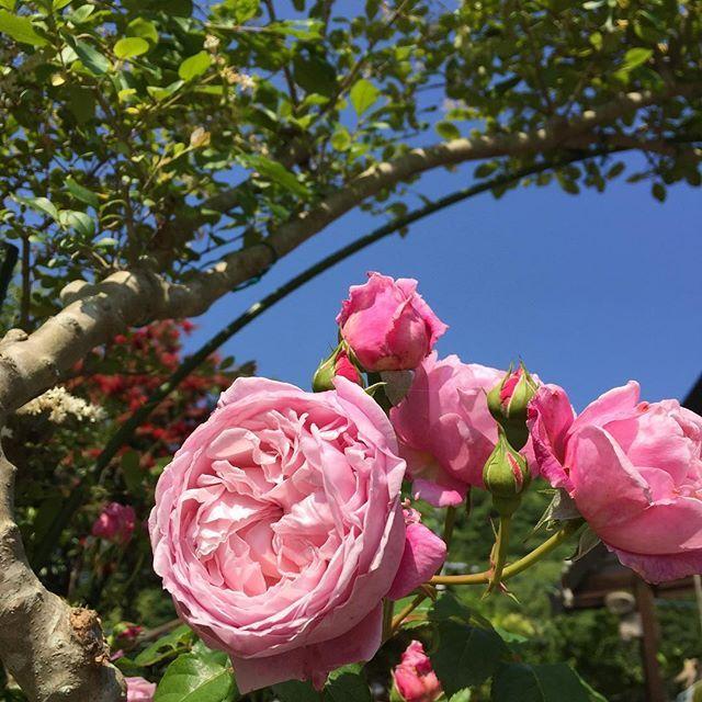 初夏の頃のお庭 バラ満開でした  #庭 #バラ #flowers  #もとl fukudamotoko 2016/08/09 20:49:58
