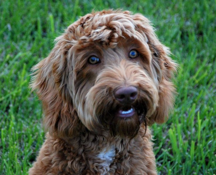 See our collection of Labradoodle photos- you will certainly see how beautiful this breed of dog is. Send us your Labradoodle pictures to share.