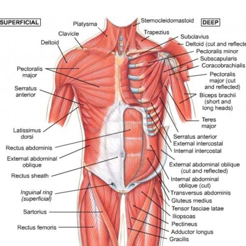 Chest Muscles Diagram Anatomy Pinterest Muscle Anatomy Muscle