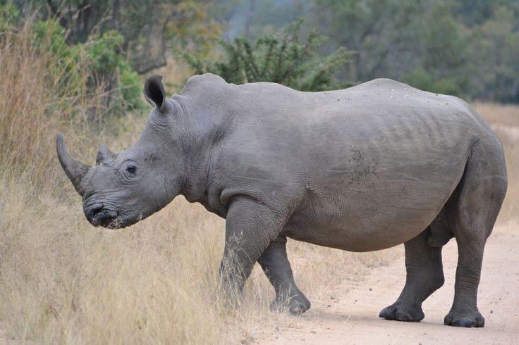 Rhino KNP