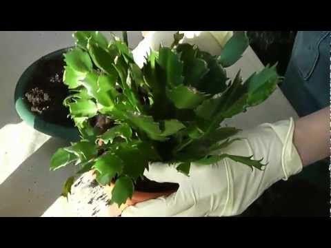 Декабрист – секреты ухода за необычным кактусом в домашних условиях