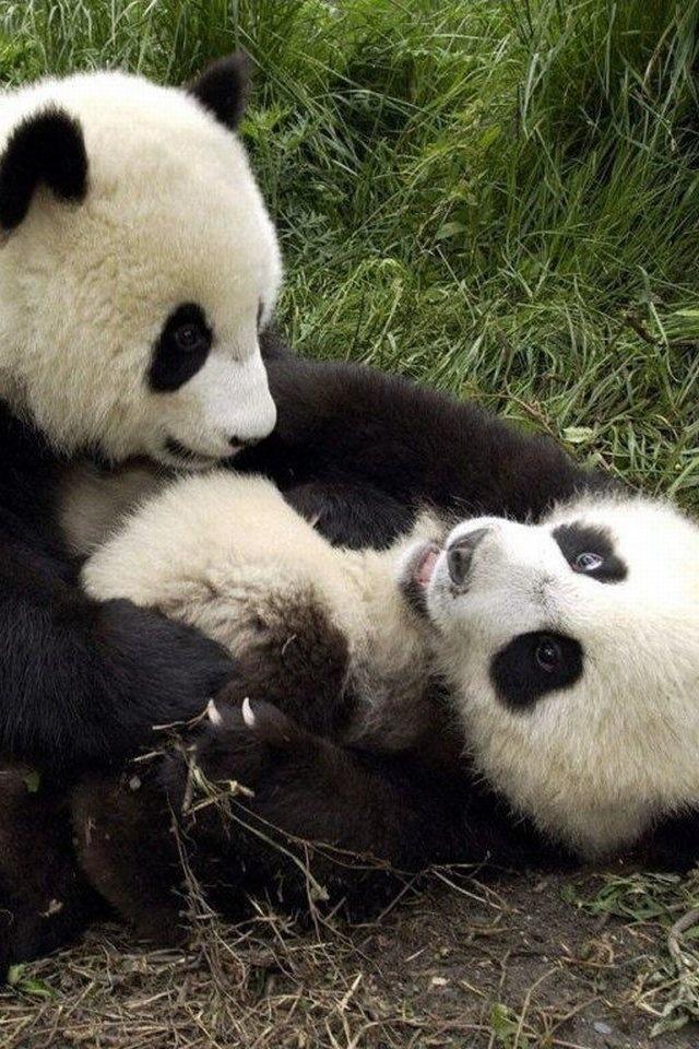 Playful pandas! So cute! :D  #panda #playful