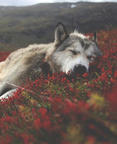 (Open Annie)) I lay in the flowers whimpering. I don't notice you walk up. You rest your hand on my head and I bite you