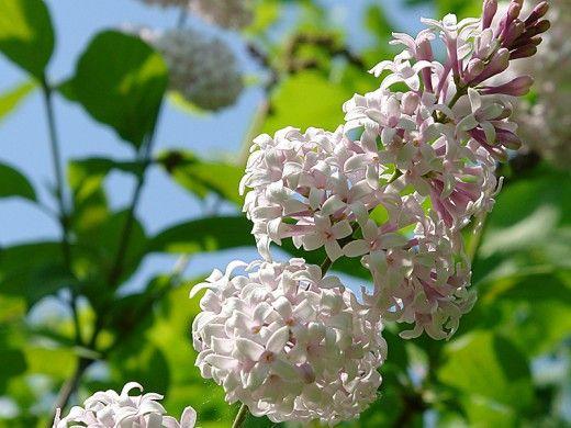 Сорта и виды сирени. Все виды сирени отличаются красивыми цветами, почему их и разводят в садах. Особенно сильно распространена сирень обыкновенная (Syringa vulgaris) — роскошный кустарник, чрезвычайно выносливый, который отлично растет на открытом воздухе как на юге, так и на севере Европы и украшает весной сады крупными соцветиями своих душистых цветов. Кроме основной формы с лиловыми цветами, в культуре возникли разновидности с белыми и розоватыми цветами. Они употребляются также для…