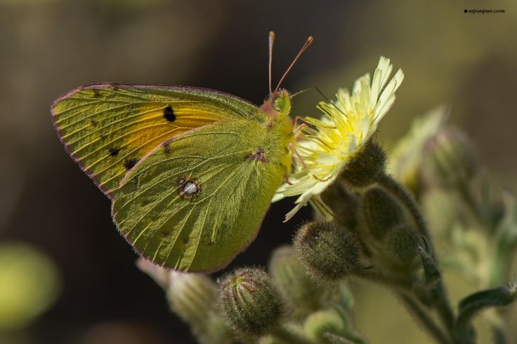 Photograph Colias croceus by Marco P on 500px