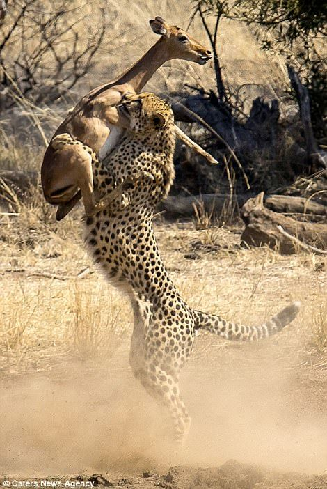 Stunning: One incredible shot shows a cheetah catching an impala in mid air (left) in the Pilanesberg National Park, SA