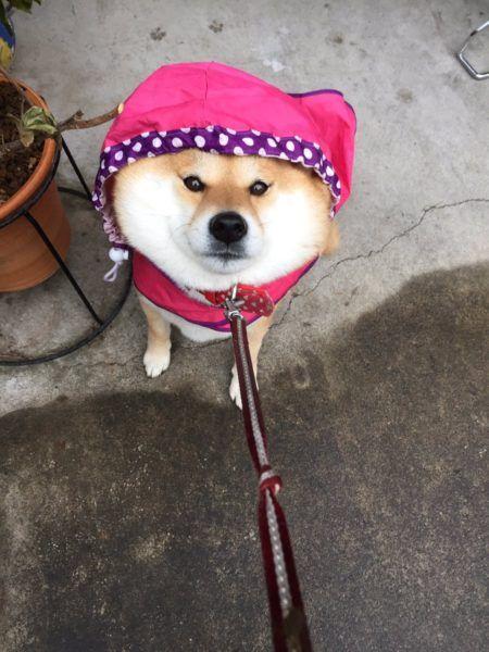 ドジっ子柴犬、カラスの鳴き声に気を取られる   netgeek