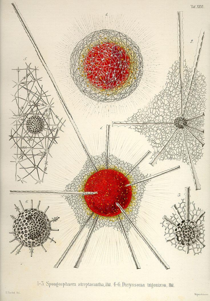 Ernst Haeckel (1834-1919) 1-3 Spongosphaera streptacantha, 4-6 Dictyosoma trigonizon Plate 26 of 'Die Radiolarien' (Rhizopoda Radiaria) Berl...