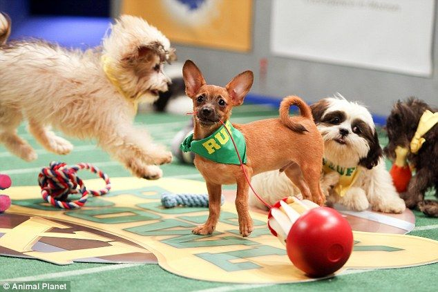 Playing ruff: Puppy Bowl returns for its 11th annual showdown courtesy of the Animal Plane...