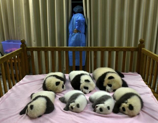 Cina, nascita da record: 7 panda giganti in tre mesi (credit repubblica.it)