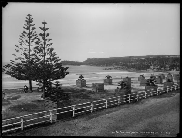 This image shows the famous Norfolk Island Pines at Manly Beach Norfolk Pines, probably not long after they were first planted. Two of the trees are more established and are providing shade for a few people taking in the sea air.  85/1285-200 Glass negative, full plate, 'The Esplanade, Manly, Looking South, No. 2', Henry King, Sydney, Australia, c. 1880-1900.